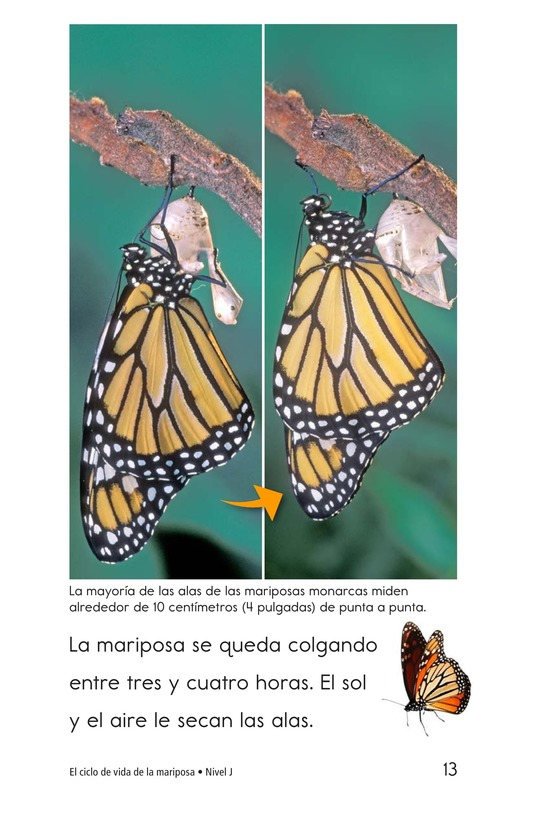 Book Preview For The Butterfly Life Cycle Page 13