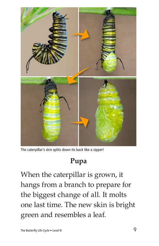 Book Preview For The Butterfly Life Cycle Page 9